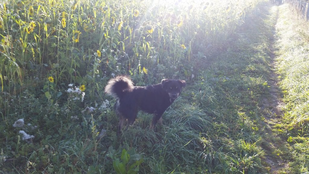 Sunflowers and a dog